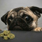 Alien Dawg Marijuana Strain Review