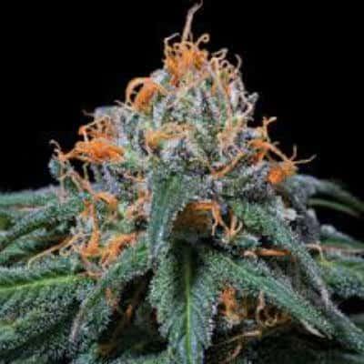 Church Marijuana Strain Review