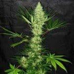 Aurora Indica Marijuana Strain Review