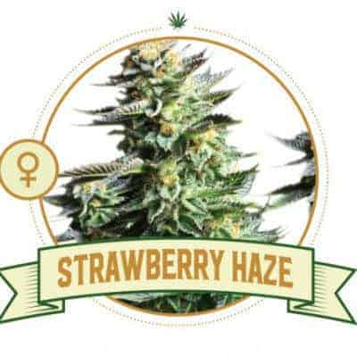 Strawberry Haze Marijuana Strain Review