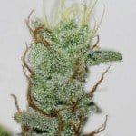 Acorn Marijuana Strain