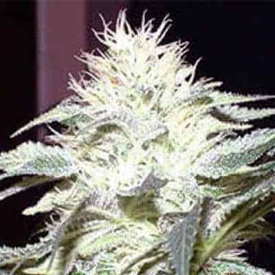 Jack White Marijuana Strain Review