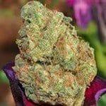 DC OG Marijuana Strain