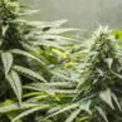 Doctor Kush Strain Review – Doctor's Orders !